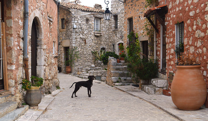 A Week In Provence (Part 1) - Tulips & A Terrier